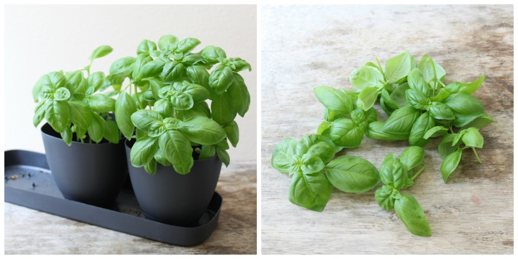 homegrown basil
