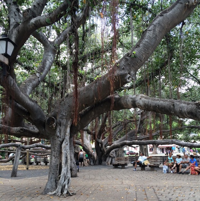Banyan Tree // Front Street // Maui, Hawaii